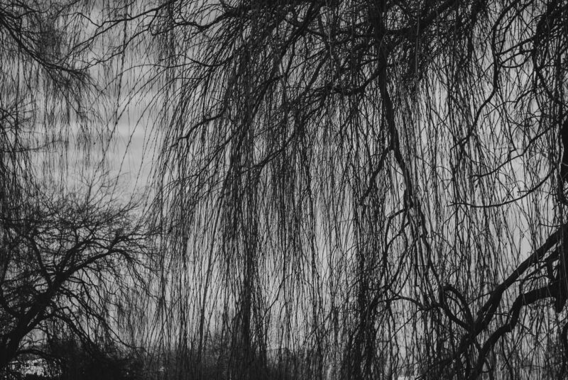 Branches of a willow tree