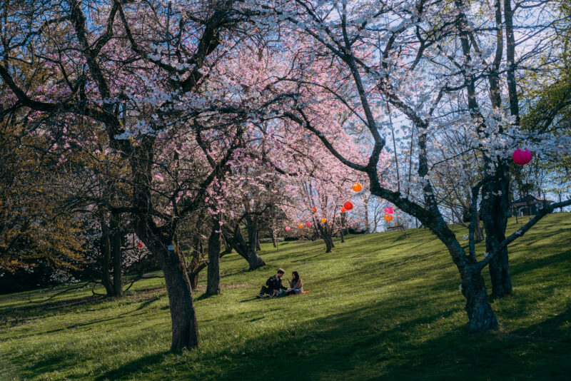 Couple having a picnic between blossoming trees